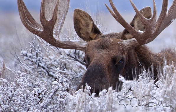 Picture winter, snow, horns, the bushes, moose