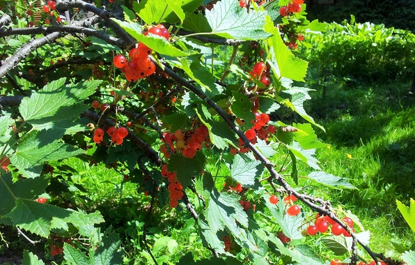 Picture berries, shrub, red currant