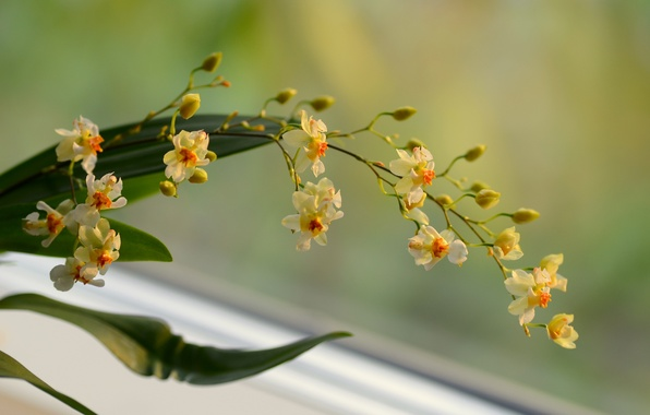 Picture flowers, background, branch, yellow, Orchid