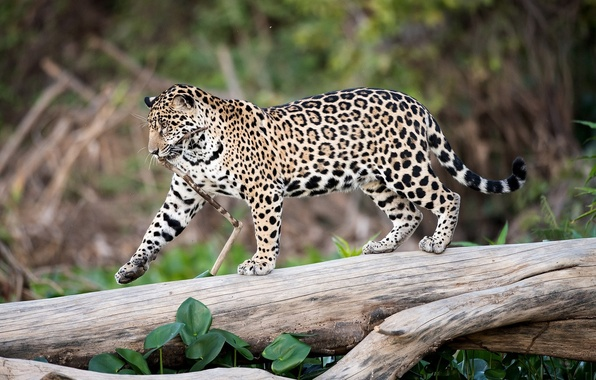 Picture predator, spot, Jaguar