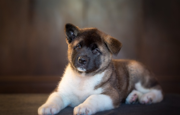 Picture dog, puppy, Akita inu