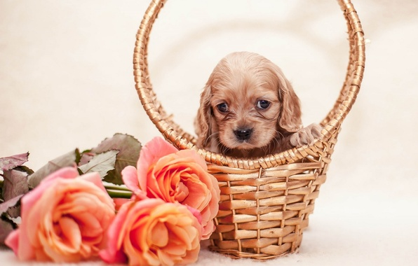 Picture flowers, basket, roses, puppy, puppy, flowers, roses, basket