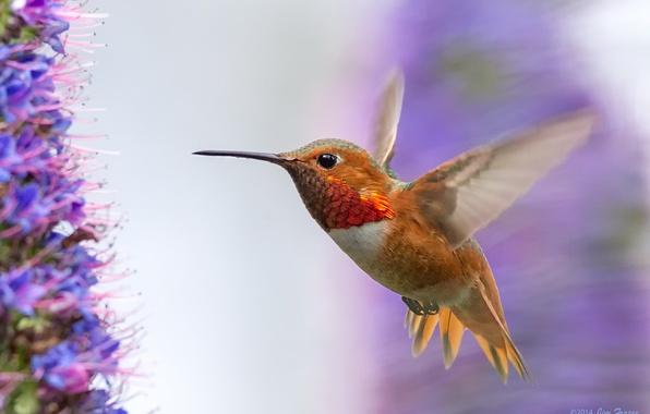 Picture flight, flowers, bird, wings, Hummingbird, bird, stroke, lilac
