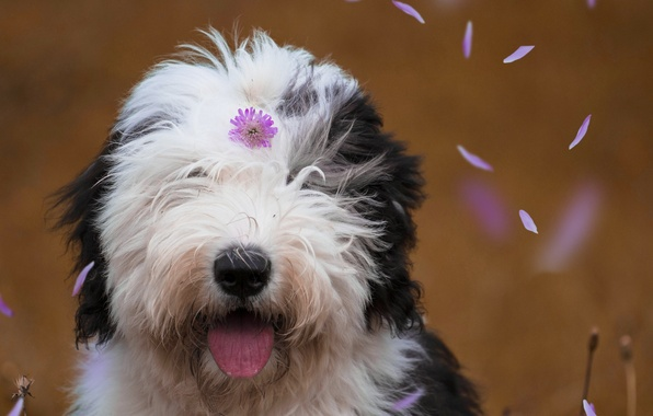 Picture face, dog, petals, flower, Bobtail, The old English Sheepdog