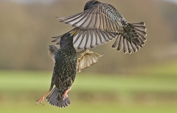 Picture birds, the battle, in the air, starlings