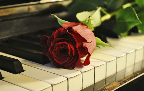 Picture flower, rose, piano, keys, piano
