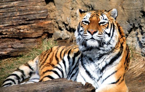 Picture tiger, predator, beast, big cat, Panthera tigris, mammal