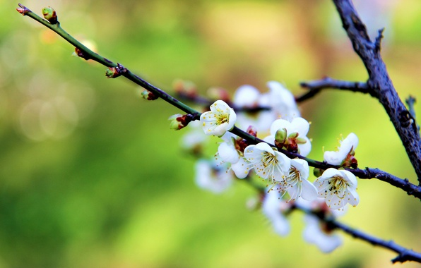 Picture flowers, branch, spring, white, flowering, kidney, drain