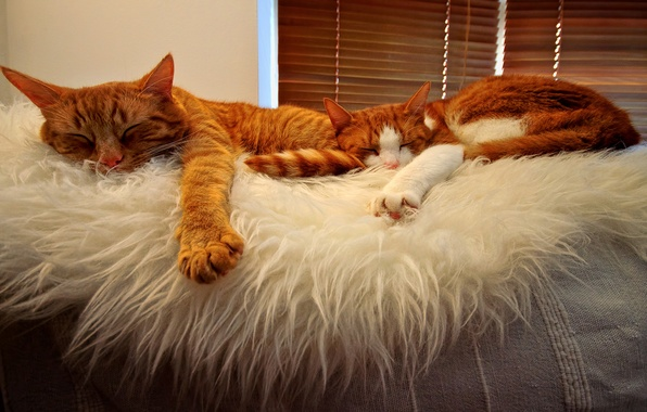 Picture orange, sleeping, Cats, buddies, tabbies