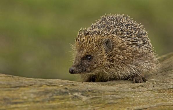 Picture look, barb, muzzle, hedgehog, hedgehog