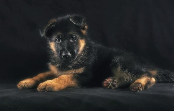 Picture puppy, shepherd, German