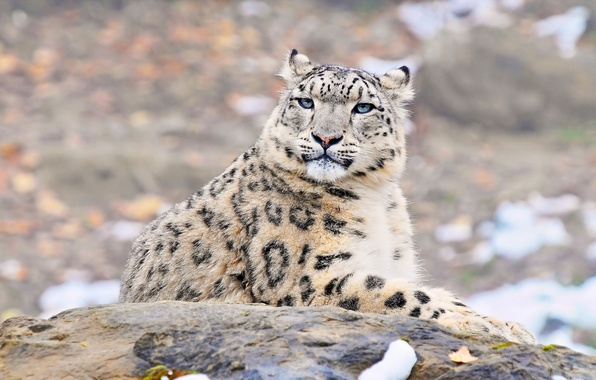 Picture look, face, predator, IRBIS, snow leopard, snow leopard, uncia uncia