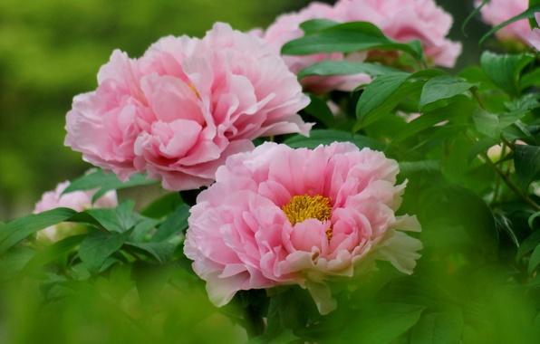 Picture leaves, Bush, focus, pink, peonies