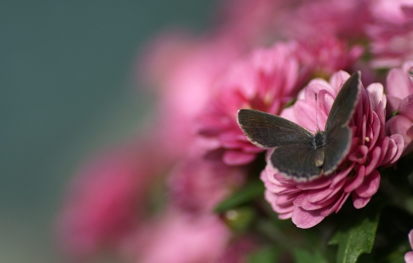 Picture macro, flowers, butterfly, blur, pink