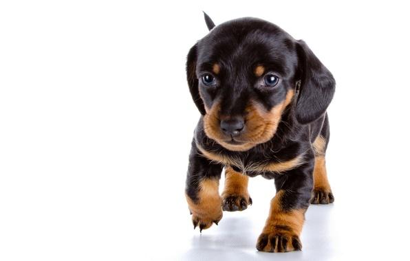 Picture baby, puppy, Dachshund