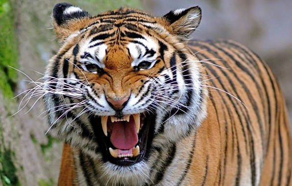 Picture tiger, predator, grin, roar
