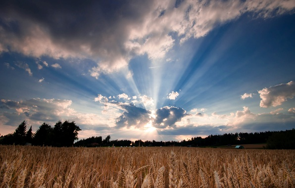 Picture wheat, field, the sky, leaves, the sun, clouds, trees, nature, background, tree, widescreen, Wallpaper, rye, …