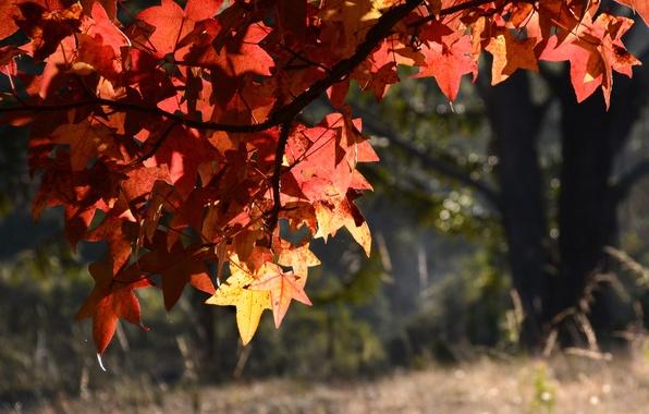 Picture autumn, leaves, macro, tree