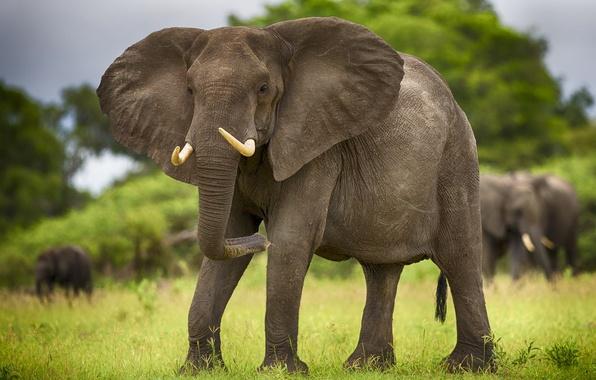 Picture animals, elephant, Savannah, Africa, elephants, tusks