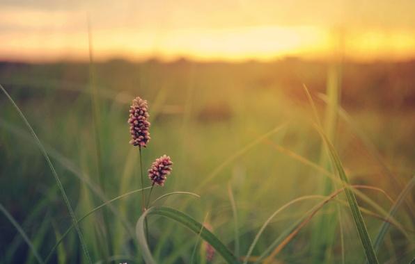 Picture greens, field, flower, summer, grass, sunset