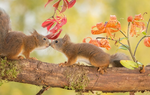 Picture autumn, animals, flowers, nature, tree, Lily, branch, pair, proteins, rodents