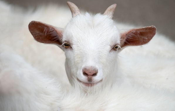Picture white, horns, goat