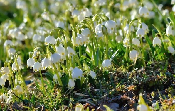 Picture spring, primrose, snowflake