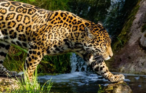Picture stream, predator, spot, Jaguar, profile, walk, wild cat