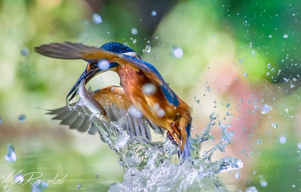 Picture water, squirt, bird, fish, kingfisher, alcedo atthis, common Kingfisher, catch