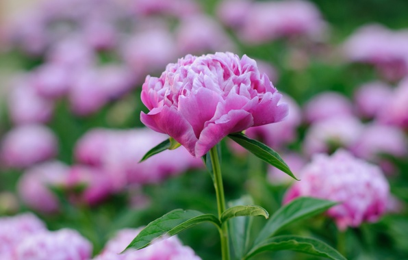 Photo wallpaper pink, spring, peony