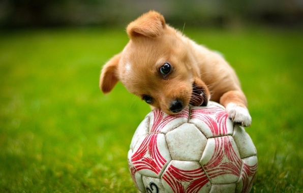 Picture the game, the ball, dog, red, puppy, lawn