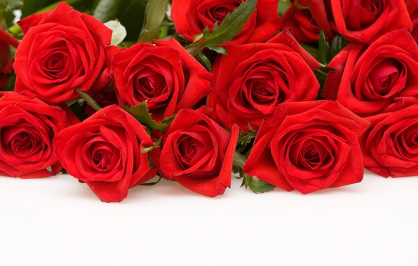 Picture flowers, roses, red, white background