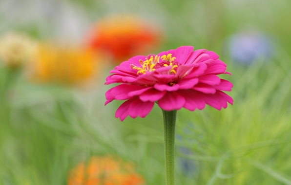 Picture flower, flowers, pink, blur, flowerbed