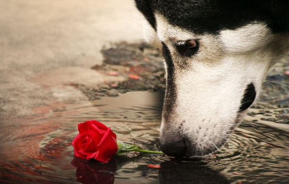 Picture rose, dog, puddle
