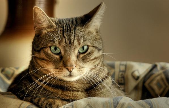 Picture cat, cat, look, macro, basket, lies, striped, cat, green eyes, macro