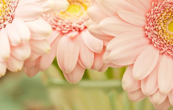 Picture flower, flowers, nature, pink, tenderness, petals, garden, petal, flowers, flowerbed, flowering, widescreen Wallpaper, the Wallpapers, …