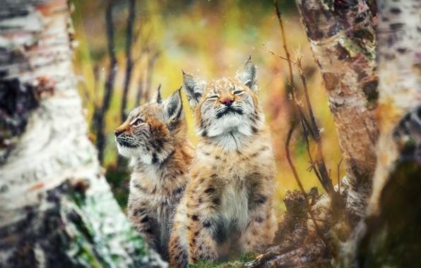 cat lynx autumn foliage - photo #8