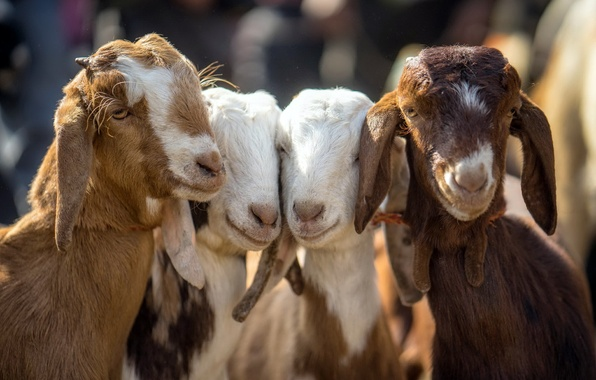 Image result for 4 goats