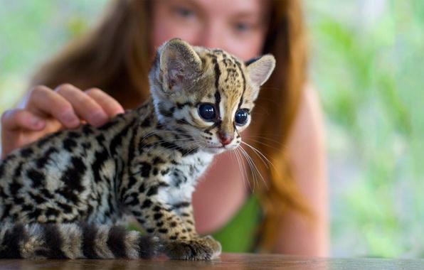 Picture girl, kitty, blur, cub, ocelot