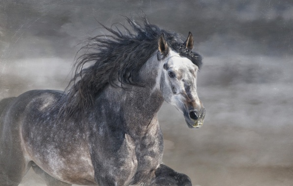 Picture grey, horse, horse, stallion, running, mane, gallop, © Ryan Courson Photography