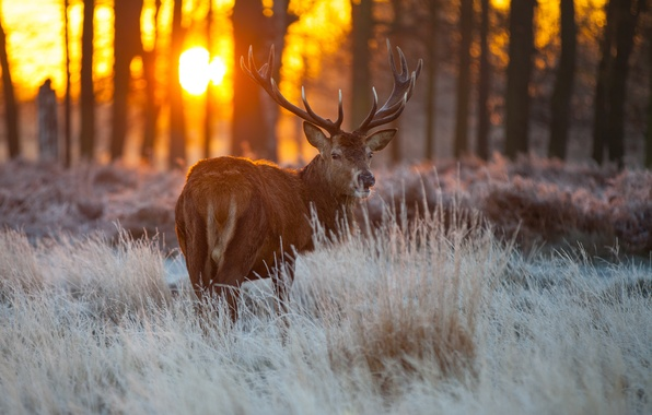 Picture grass, look, the sun, trees, nature, deer