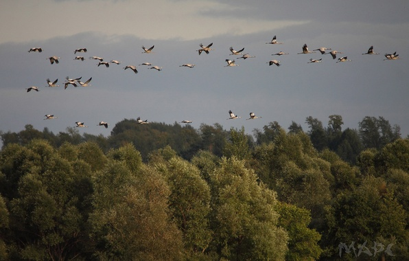 Picture autumn, forest, the sky, trees, birds, pack, cranes, flights