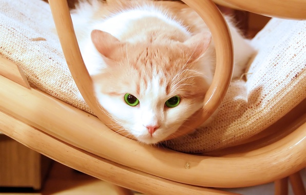 Picture eyes, green, kitty, green, Cat, chair, kitten, eyes, beautiful, cat, beautiful, chair, kitty