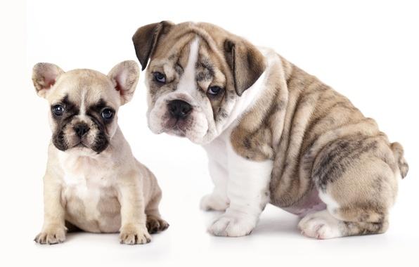 Picture dogs, puppies, French bulldog, English bulldog, the bulldogs