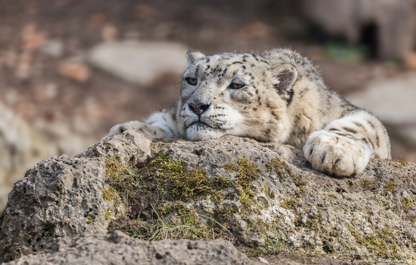 Picture face, stay, stone, moss, predator, paws, IRBIS, snow leopard, bars, wild cat