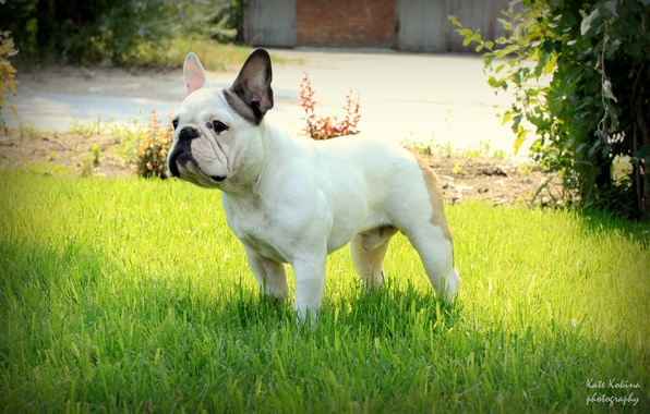 Picture grass, stand, French bulldog
