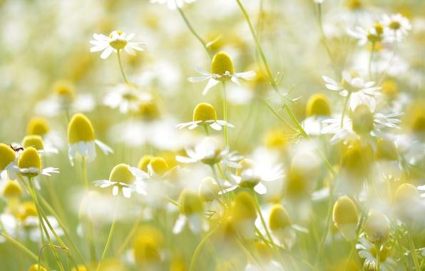 Picture field, light, petals, Daisy, stem, meadow