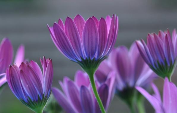 Picture macro, petals, Osteospermum