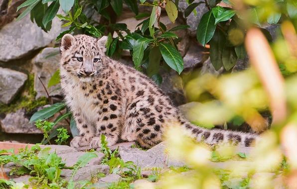 Picture stones, foliage, blur, IRBIS, snow leopard, snow leopard, kitty
