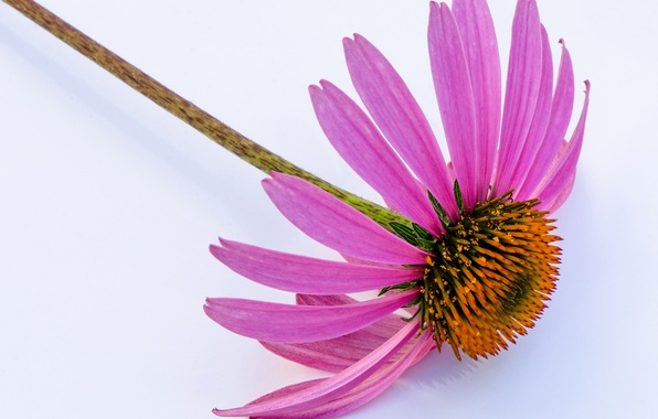 Picture flower, petals, stem, Echinacea